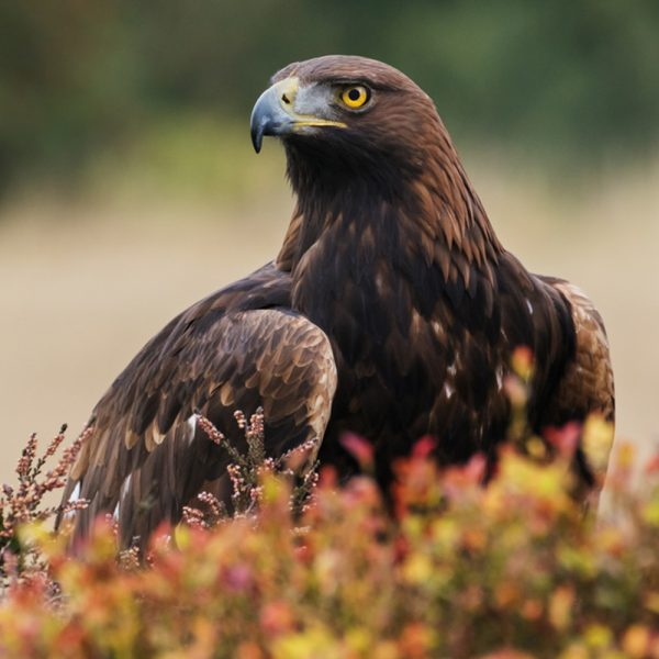 A golden eagle